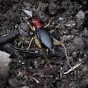Cricket - Phyllopalpus pulchellus - female