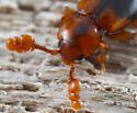 handsome fungus beetle - Phymaphora californica - male