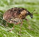 Weevil - Perigaster cretura