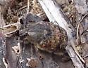 buzzy beetle - Euphoria inda