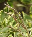 Praying Mantis or mantid family - Stagmomantis carolina