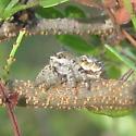 Phidippus? - Phidippus arizonensis