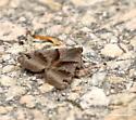 Looper moth - Caenurgina