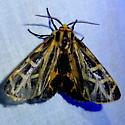 Anna Tiger Moth - Apantesis anna - male