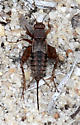 Robust Ground Cricket - unident - Allonemobius - female