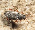 Telmatophilus americanus? - Telmatophilus americanus