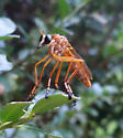 Robber Fly - Diogmites