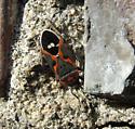Small Milkweed Bug for WA - Lygaeus kalmii