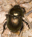 Which Geotrupes? - Geotrupes splendidus