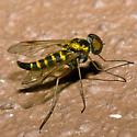 Chrysopilus - Chrysopilus fasciatus - male
