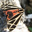 moth - Apantesis phalerata