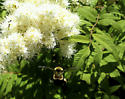 Confirmed Bombus affinis (the rusty patched bumble bee) - Bombus affinis - female