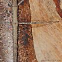 Walking Stick - Diapheromera femorata - female