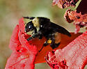 Bumble Bee - Bombus pensylvanicus - female