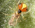 Spider - Theridula emertoni