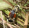 Bombus ternarius ? - Bombus ternarius - male - female