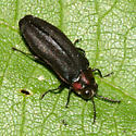 Metallic Wood-boring Beetle - Eupristocerus cogitans - male