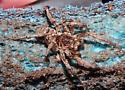 Lycosidae - Hogna baltimoriana