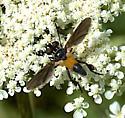 Trichopoda sp? - Trichopoda pennipes
