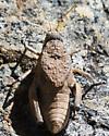 Chihuahua Toad Lubber - Phrynotettix tshivavensis - female