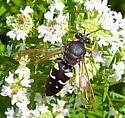 Horse Guard Wasp - Stictia carolina - male