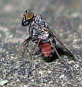 Woodpecker Fly - Medetera