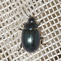 Chrysolina I think, but which species? - Chrysolina