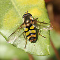 Syrphid Fly - Didea fuscipes