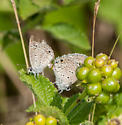 Reakirt's Blue Mating - Echinargus isola - male - female