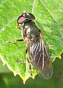Unidentified Syrphid - Cheilosia - female