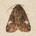 Anterastria teratophora? - Anterastria teratophora