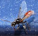 Carpenter Ant? - Pogonomyrmex occidentalis