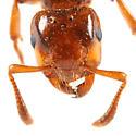 queen ant? - Lasius