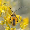 Crossidius hirtipes - Crossidius punctatus