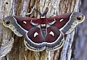 columbia silk moth - male
