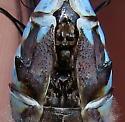 Canada Darner - Aeshna canadensis - male