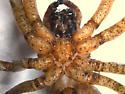 Large spider, indoors - Zoropsis spinimana - female