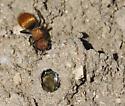 unknow velvet ant wasp and Diadasia bee - Pseudomethoca propinqua