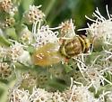 Soldier Fly - Hedriodiscus trivittatus - female