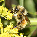 Bumble Bee - Bombus ternarius - male