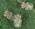 144233 Tingidae LACE BUG - Corythucha immaculata