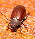 Phyllophaga or something related? - Phyllophaga