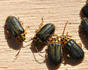Unknown 'Bug' - Xanthogaleruca luteola