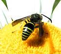 Mason Wasp - Ancistrocerus antilope - male