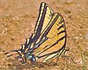 Two-tailed? - Papilio multicaudata - male