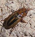 Stenolophus lineola - Stenolophus