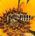Megachilid - Megachile inimica - female