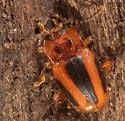 Orange and black beetle in log - Aphorista vittata