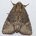 Noctuid 81 - Phosphila turbulenta