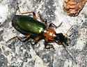 Ground Beetle - Calleida punctata